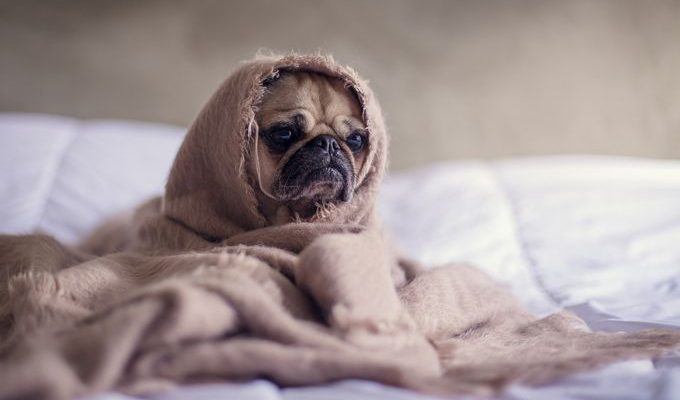 Korean dog wrapped up in a blanket