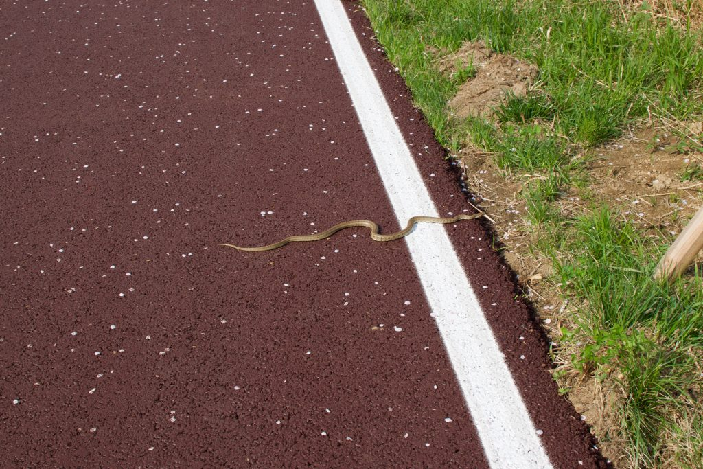 A snake crosses a bike path in Korea during the spring weather. Cherry blossom flowers line the bike path
