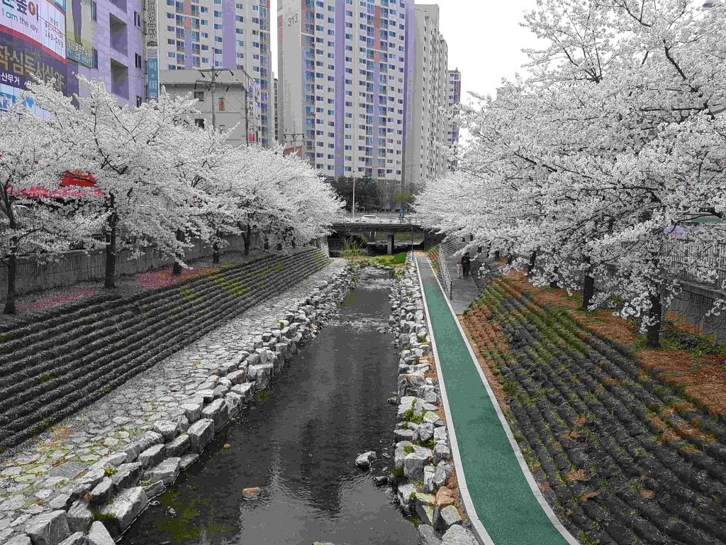 A row of cherry blossoms sit along a stream.