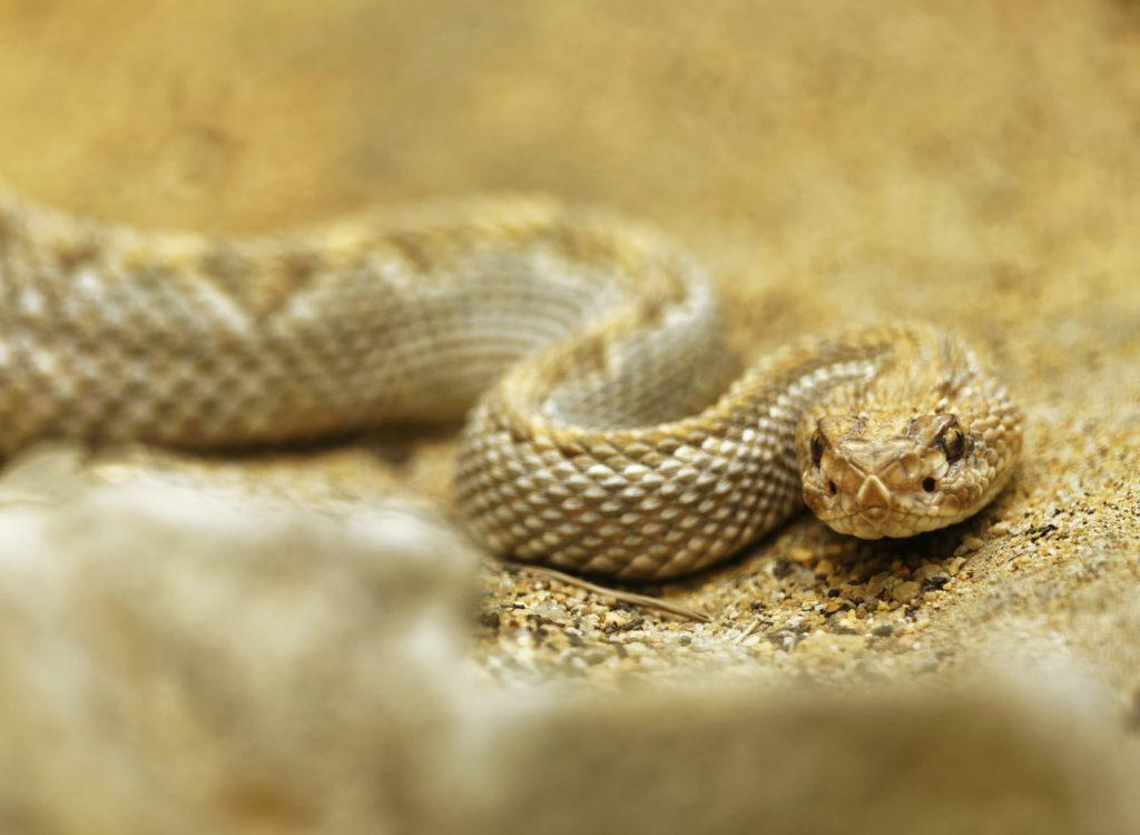 snakes in korea